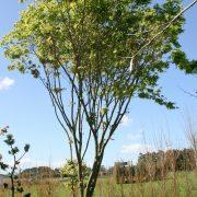 acer-palmatum-1