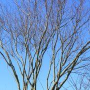 Acer palmatum2