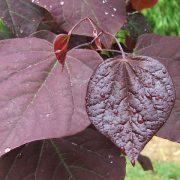 Cercis F Pansy Foliage