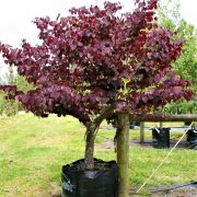 cercis-forest-pansy-7
