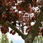 cercis-forest-pansy-8