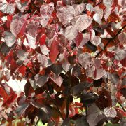 cercis-forest-pansy-9