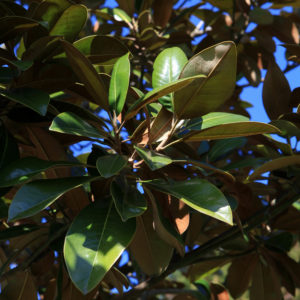 Magnolia grandiflora 'ferrugenia'