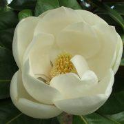 magnolia-grand-dec