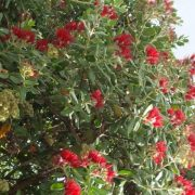 metrosiderous-excelsa-400l-flowering-12-3-3