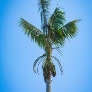 Kentia Palm NC1
