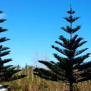 norfolk-pine