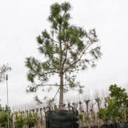 Pinus  (2)