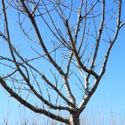 Prunus-2