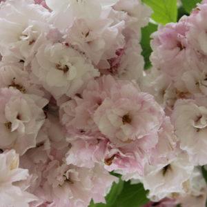 Prunus 'shimidsu sakura'