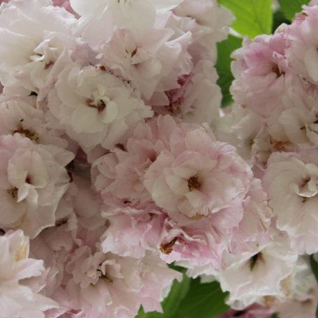Prunus 'shimidsu sakura'. x3 superb ornamental cherry trees