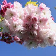 Prunus Shimidsu Sakura Oct12 009
