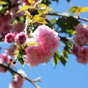 Prunus 'Shimitzu sakura' PB95 Nov11 (7)