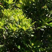 stenocarpus