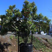 Stenocarpus - Copy