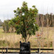 Stenocarpus sinuatus (2)