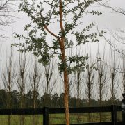 cork-oak-2