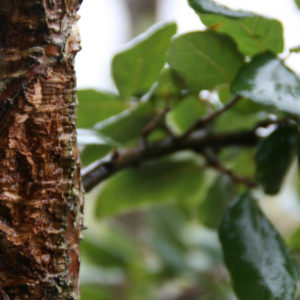 Quercus 'suber'