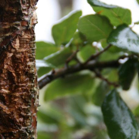 cork-oak-3