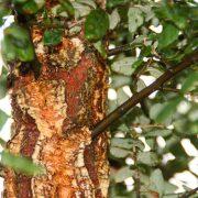 cork-oak-4