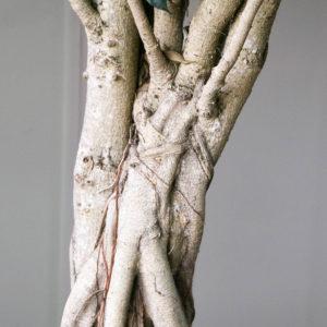Ficus 'benjamina'