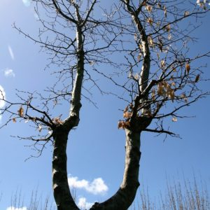 Carpinus 'betulus' . Interactive specimen Tree