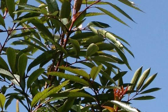 cunonia-capensis-4