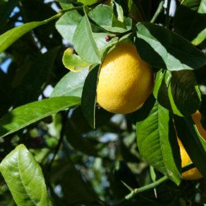 Lime Kusaie