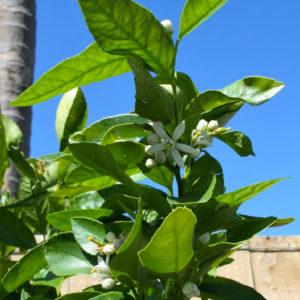 Citrus aurantifolia 'Sublime'