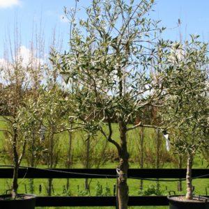 Olea 'el greco' – character pruned