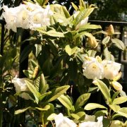 rhododendron-38