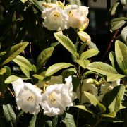 rhododendron-39