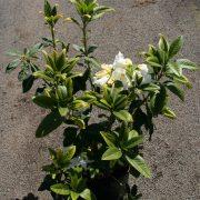 rhododendrun-mi-amor-5