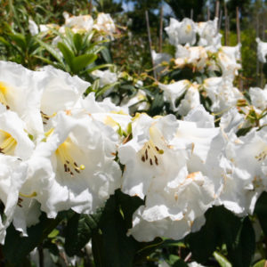Rhododendron 'mi amor'