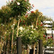 roses-9