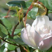 roses-varieties-various-8