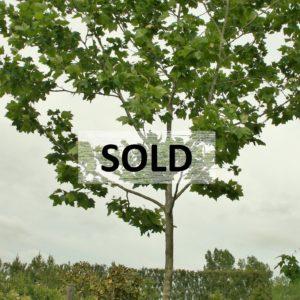 Platinus acerifolia. London Plane Tree