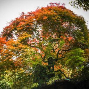 80 year old Acer 'palmatum'. Dissectum syn Atropurpurea