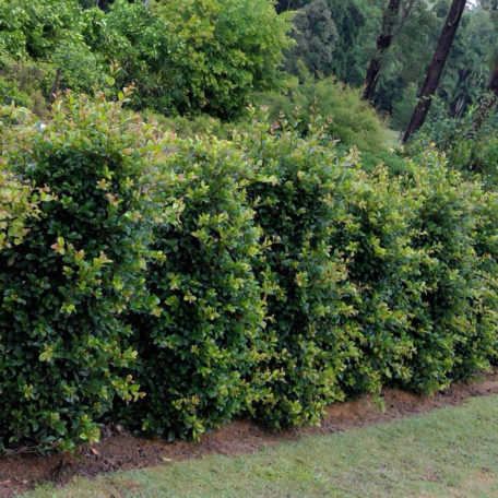Syzygium Resilience™; NZs only supplier of this variety large grade.