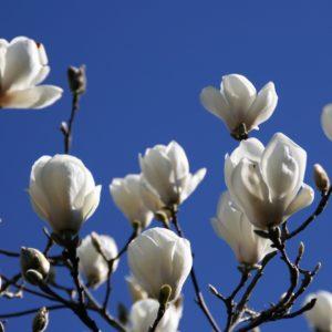 Magnolia 'Denudata' -Gere