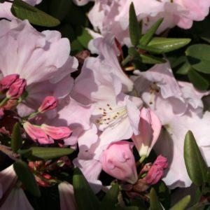 Rhododendron Kimberley