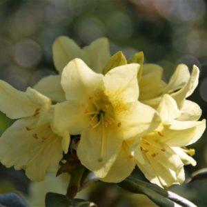 Rhododendron Saffron Queen