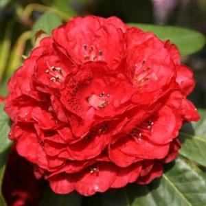 Rhododendron Catherine Fairbank