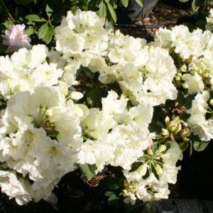 Rhododendron Lemon Lodge