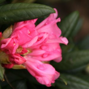 Rhododendron Forever Young