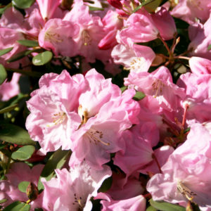Rhododendron Maureen