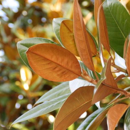 Magnolia grandiflora 'Ferrugenia'. x6 pollarded into shape H5.5m x W3m